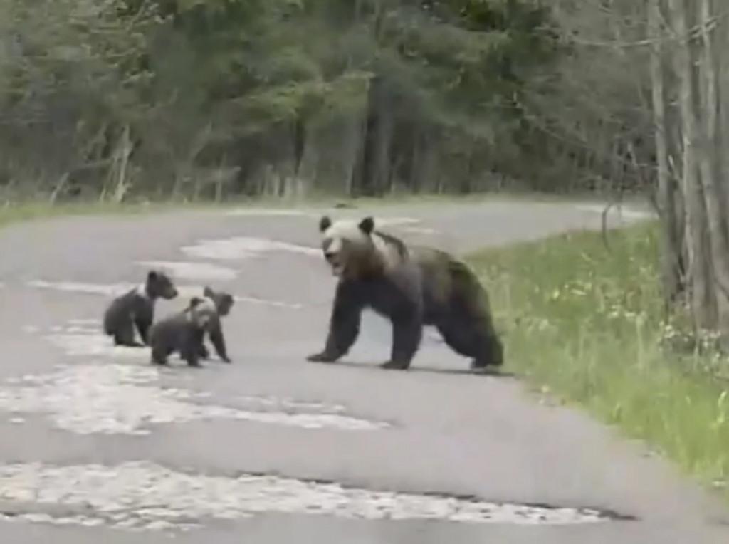 2021 Медведица на дроге у Курголово